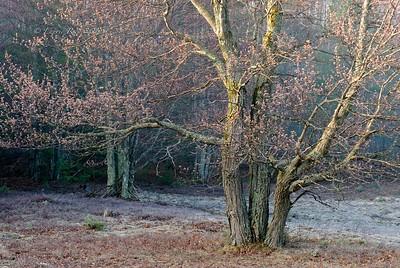 Oak tree in early spring.
