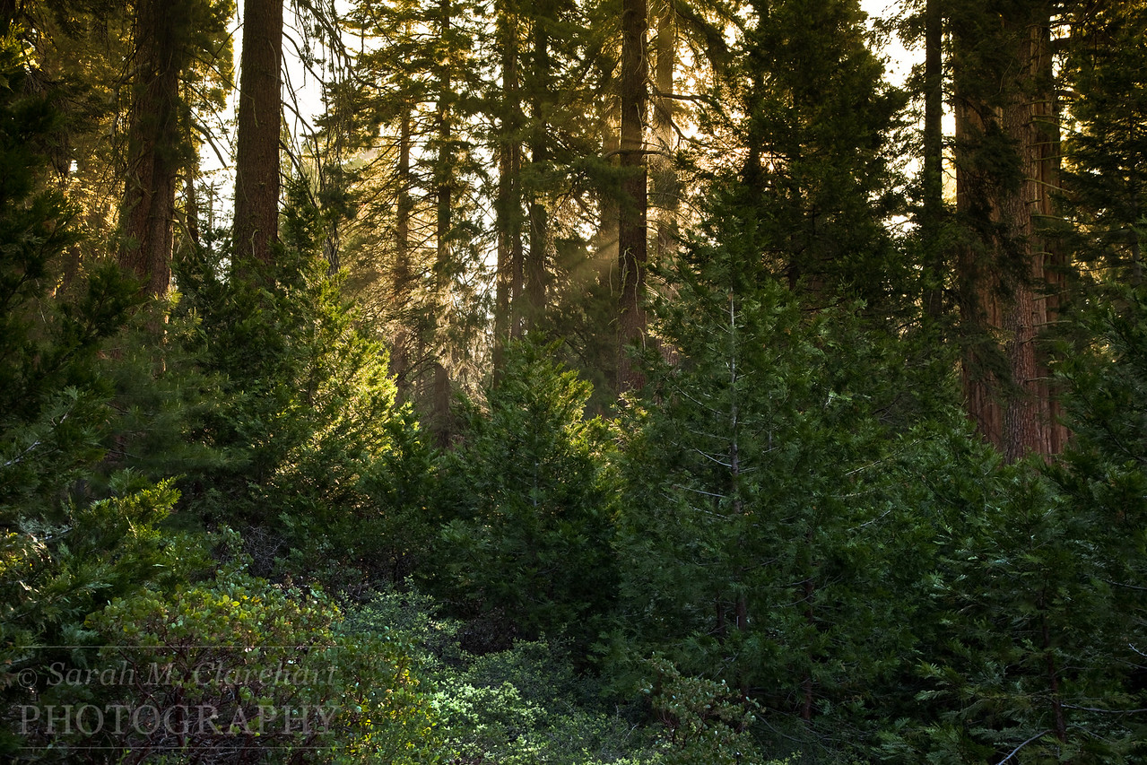 Morning Sequoia Light