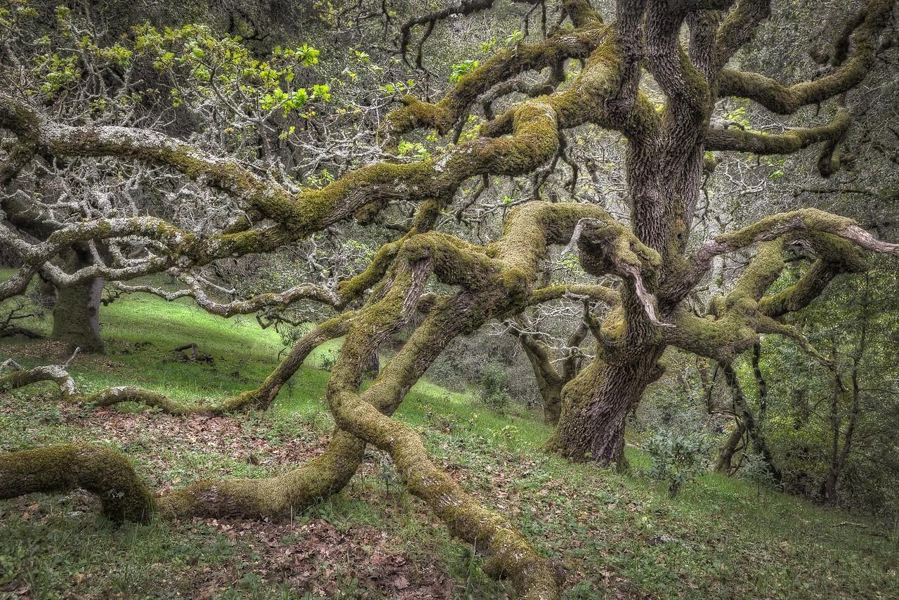 Stretching Oak, Santa Rosa, California