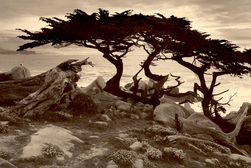 Monterey Cypress, Pebble Beach, California