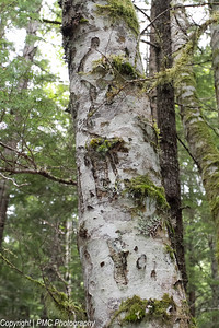 Bear Scratches on White Alder