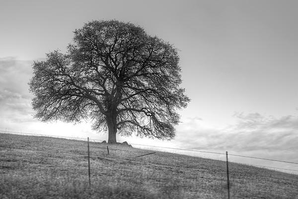 Oak Tree On A Hill