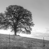 Oak Tree On A Hill