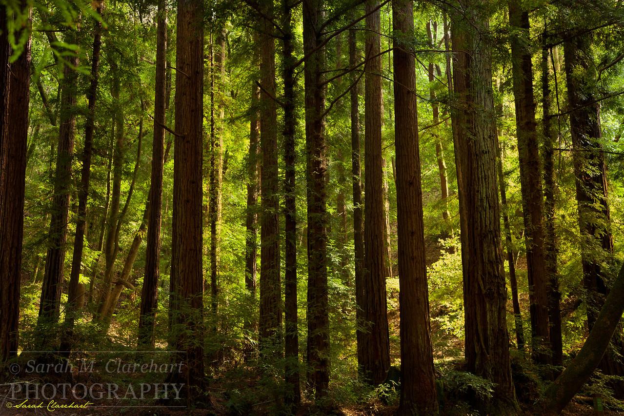 AfternoonRedwoods