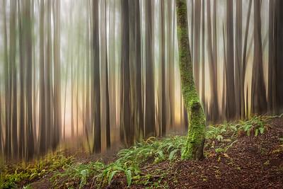 Mystic Forest, Study #3, Sea Ranch, California
