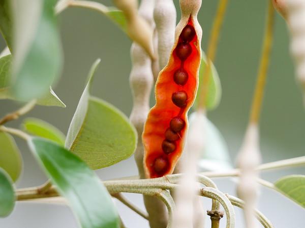 jamaica caper seed pod
