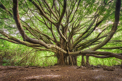 The Banyan Tree, Study 3, Maui, Hawaii