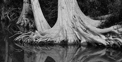 Cypress trees along Cypress Creek.