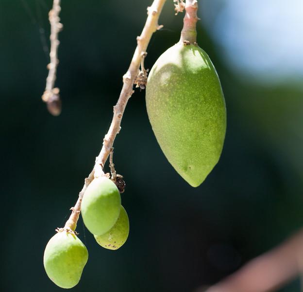 tiny mangos