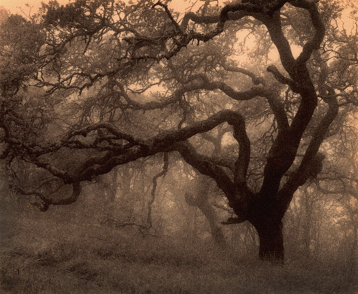 Valley Oak, Mt. Diablo, California