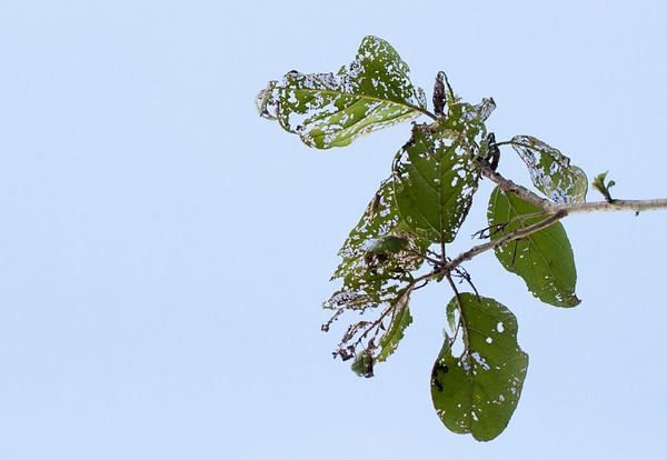 geiger beetle-eaten leaves