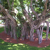 Banyan Trees ~ Florida