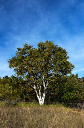 Birch Tree II