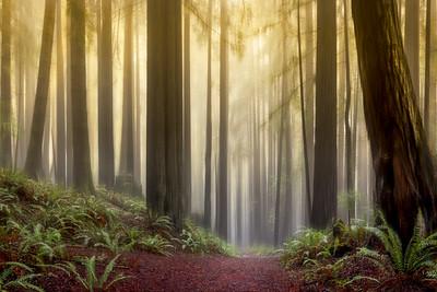 Mystic Forest, Study #1, Sea Ranch, California
