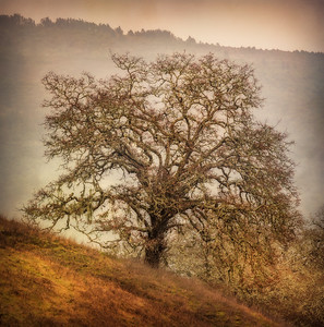The Painterly Oak, Sonoma Valley, CA