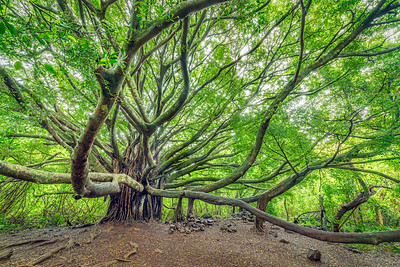 The Banyan Tree, Study 1, Maui, Hawaii