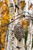 Birch Tree, Bee Hive