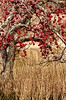 Fall, Apple Tree
