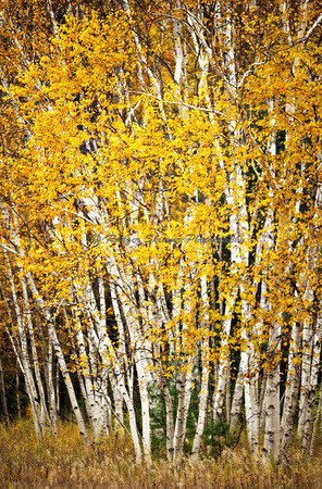 Fall, Birch Trees
