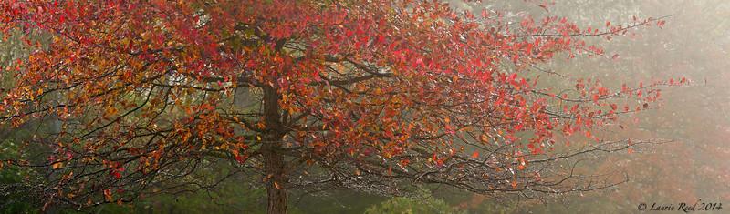 Black gum tree.