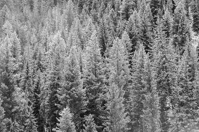 Snow covered evergreens, Wyoming