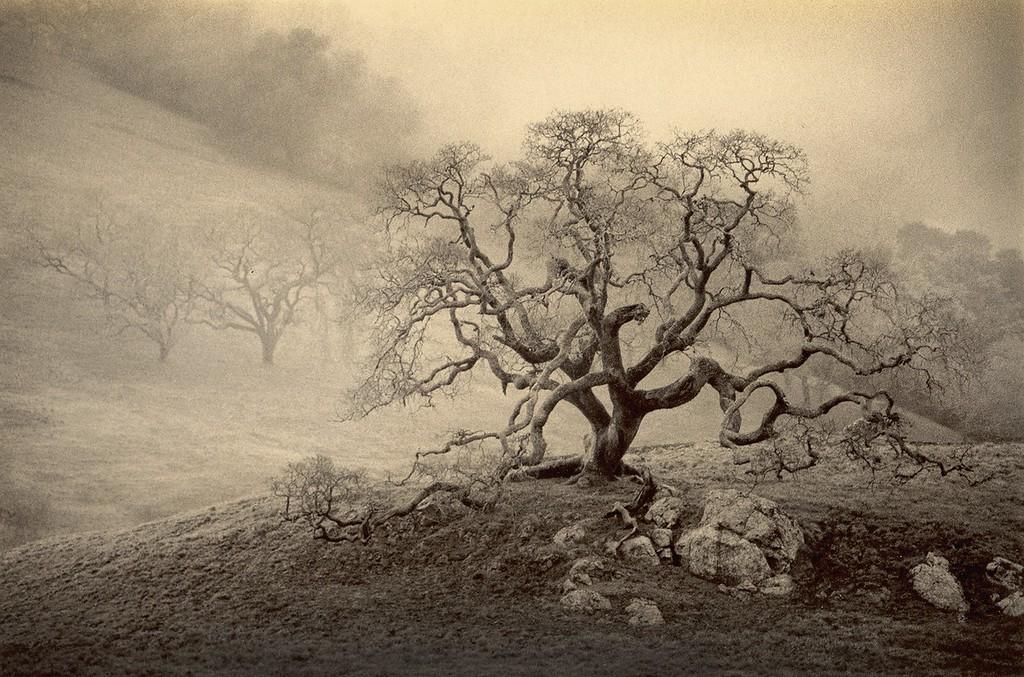 Winter Oak, Petaluma, California