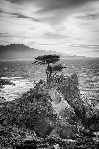 Lone Cypress, Monterey California (B&W) Vertical