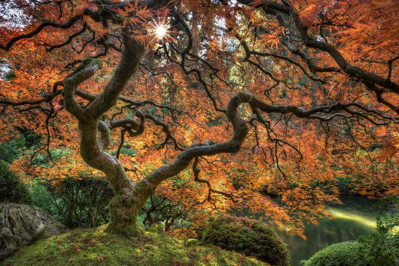 Japanese Maple, Autumn, Study 5, Japanese Garden, Portland, OR