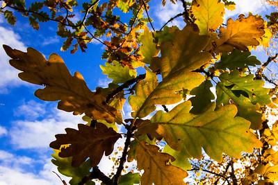 Oak trees at Loch Achilty