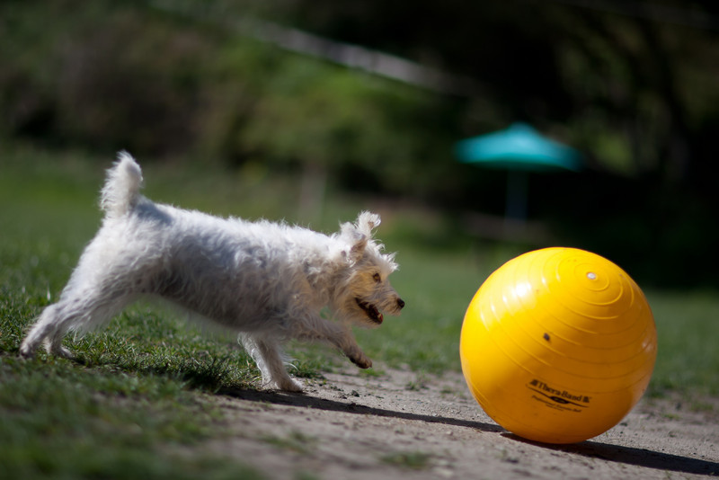 KK, 6 year old Jack Russell Terrier.<br /> I like the Dutch angle.