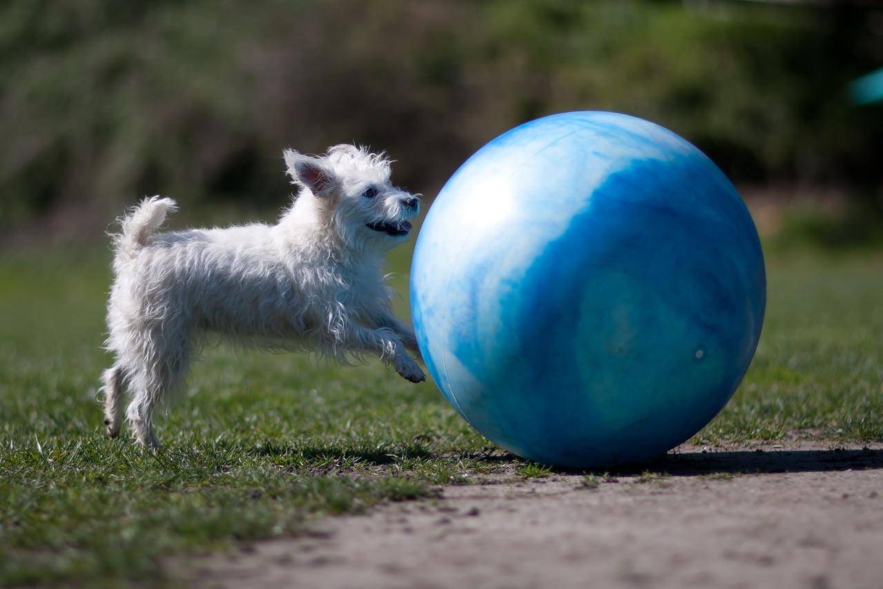 KK, 6 year old Jack Russell Terrier.