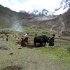Yaks used as plows for wheat cultivation.