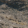 Herd of Ibex