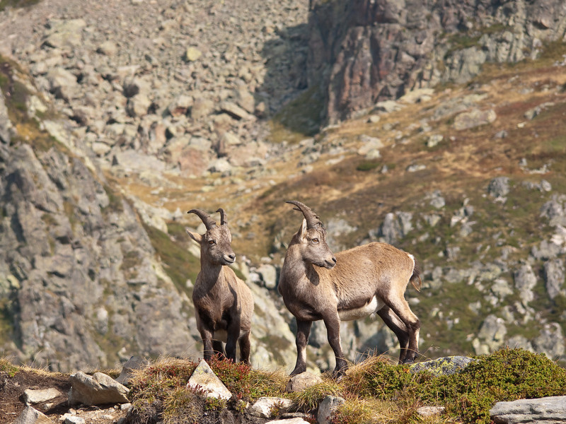 We were very nearly the first ones up this trail today and so we got to see these Chamois from relatively close.