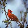 Spring Cardinal