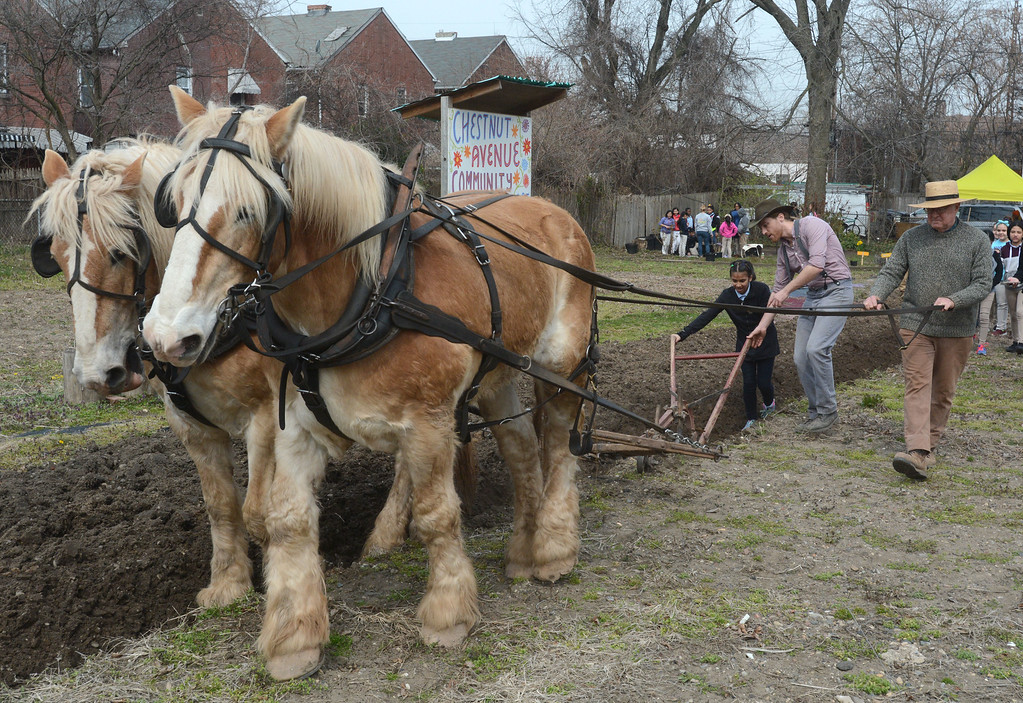 . Jack and Chester pull the plow while fourth grade student Kenia Rodriguez guides the plow with help from Kevin Watson as Larry Kidder steers the horses. Isles and Howell Living Farm worked together to plow and teach local students about farming at the Chestnut Avenue Community Garden Thursday. 