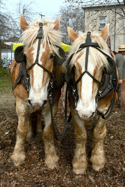 Jack and Chester get ready to plow the fields at the Chestnut Avenue Community Garden Thursday. The horses are from Howell Living History Farm, which partnered with Isles to teach Trenton students about farming techniques. <br /> John Berry — The Trentonian