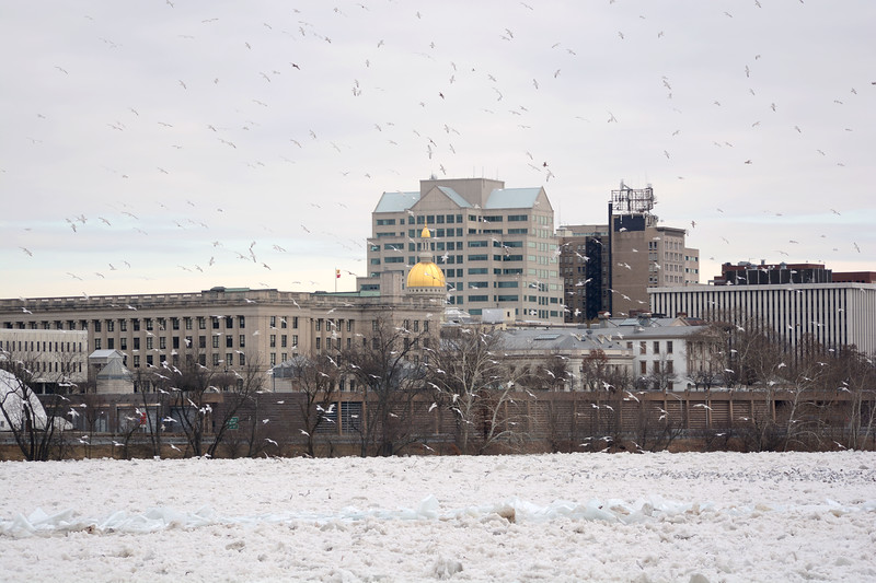Hundreds of seagulls fly over the Delaware River Monday near the state capital building. <br /> John Berry - The Trentonian