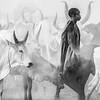 Ankole watusi cattle and their herder, Terekeka, S Sudan