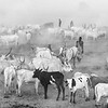Cattle camp On the banks of the Nile