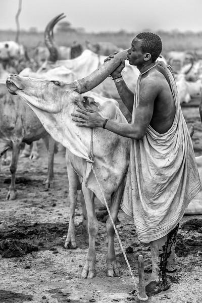 Relishing the care of the Ankoli Watusi cow