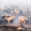 Ankole watusi  gathering in camp