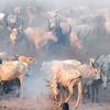 Ankole watusi  cattle gathering in camp