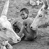 Inextricably connected - a boy and his cows
