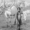 Young Mundari boy with cattle, Terekeka