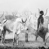 Ankole watusi cattle and their herder, Terekeka