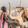 Mundari cattle care