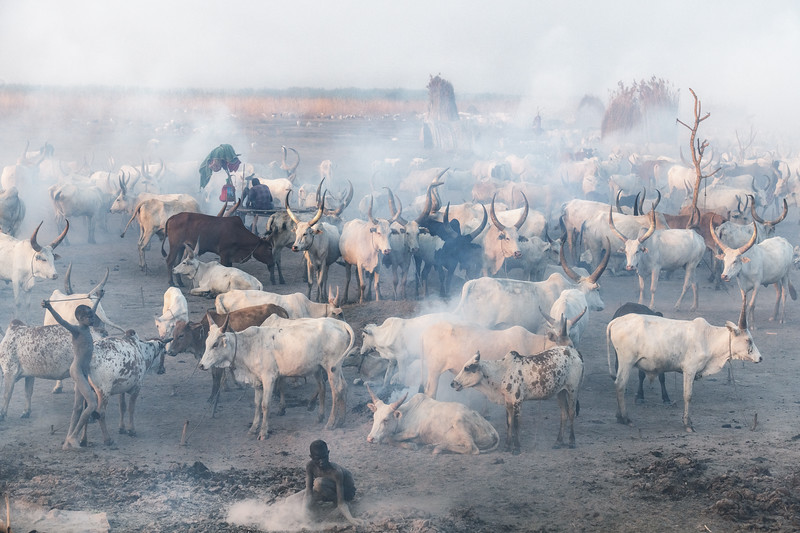 Cattle and blue smoke