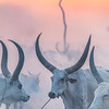 Ankole watusi at sundown