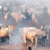 Ankole watusi  cattle gathering in camp